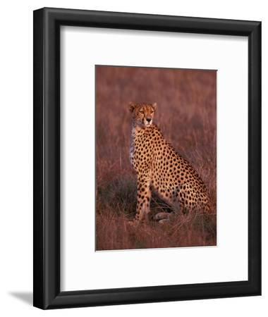 Cheetah, Masai Mara, Kenya