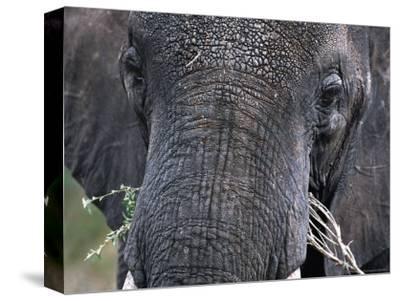 Close-up of African Elephant Trunk, Tanzania