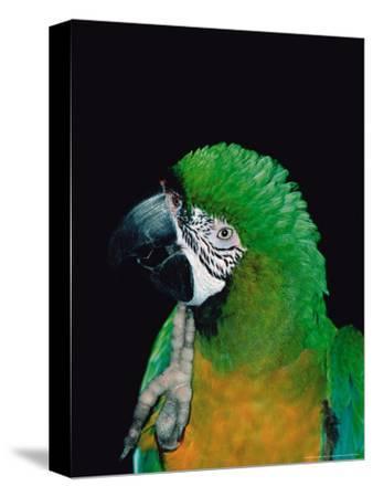 Green and Gold Macaw, Galveston Botanical Garden, Moody Gardens, Texas, USA