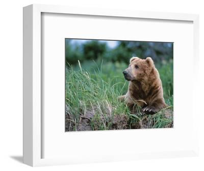 Male Brown Bear, Alaska Peninsula, Katmai National Park, Alaska, USA