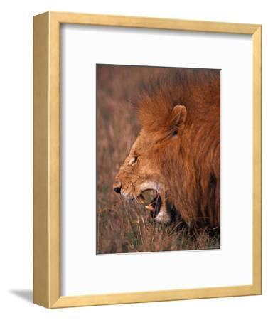 Male Lion, Masai Mara, Kenya