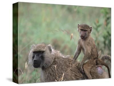Mother and Young Olive Baboon, Tanzania