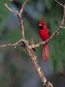 Northern Cardinal, Texas, USA by Dee Ann Pederson