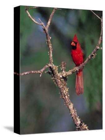 Northern Cardinal, Texas, USA