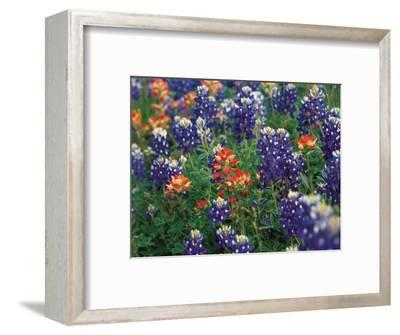 Paintbrush and Bluebonnets, Texas, USA