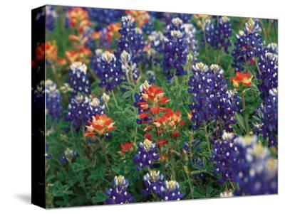 Paintbrush and Bluebonnets, Texas, USA