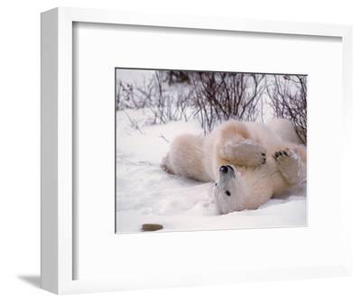 Polar Bear in Churchill, Manitoba, Canada
