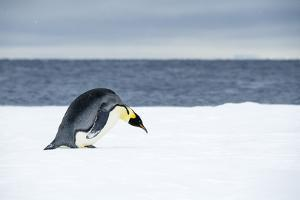 Snow Hill Island, Antarctic. Emperor Penguin about to toboggan. by Dee Ann Pederson