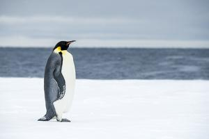 Snow Hill Island, Antarctica. Adult Emperor penguin traveled to the edge of the ice shelf to fish. by Dee Ann Pederson
