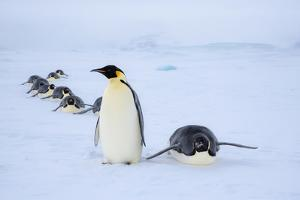Snow Hill Island, Antarctica. Adult Emperor penguins tobogganing to save energy by Dee Ann Pederson