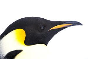 Snow Hill Island, Antarctica. Close-up emperor penguin side portrait with total white background. by Dee Ann Pederson