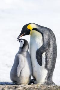 Snow Hill Island, Antarctica. Emperor penguin parent bonding with chick. by Dee Ann Pederson