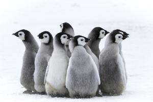 Snow Hill Island, Antarctica. Nestling creches of emperor penguin chicks. by Dee Ann Pederson