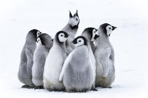 Snow Hill Island, Antarctica. Nestling emperor penguin chicks having a penguin party and singing. by Dee Ann Pederson