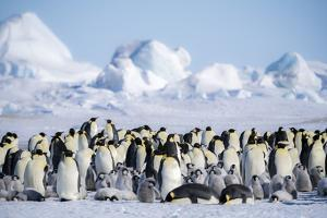 Snow Hill Island, Antarctica. Scenic emperor penguin colony with chicks on a sunny day. by Dee Ann Pederson