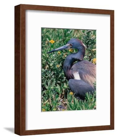 Tricolored Heron, Texas, USA