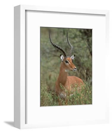 Wild Male Impala, Tanzania