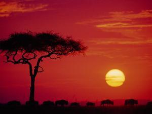 Wildebeest Migration, Masai Mara, Kenya by Dee Ann Pederson