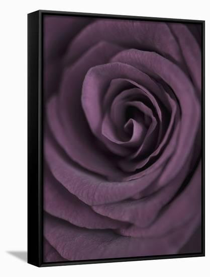 Deep Purple Rose Clive Nichols Framed Canvas Print