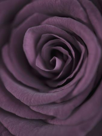 Deep Purple Rose Photographic Print By Clive Nichols | Art.com