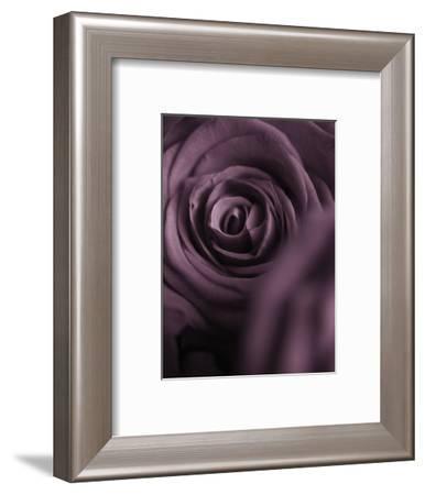 Deep Purple Rose-Clive Nichols-Framed Photographic Print