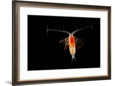 Deepsea Marine Planktonic Copepod (Euchirella Sp) Atlantic Ocean-Solvin Zankl-Framed Photographic Print