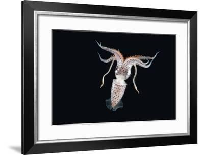 Deepsea Squid (Histioteuthis Sp) From Between 188M-617Ft And 507M-1,663Ft Depth, Night-David Shale-Framed Photographic Print