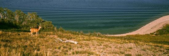 Deer at Waterton Lake, Waterton Lakes National Park, Alberta, Canada--Photographic Print
