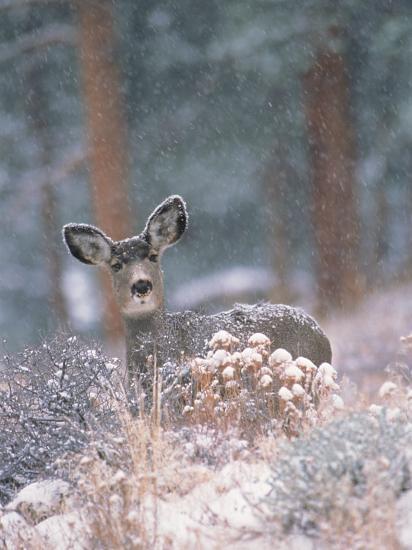 Deer in Winter Forest-D^ Robert Franz-Photographic Print