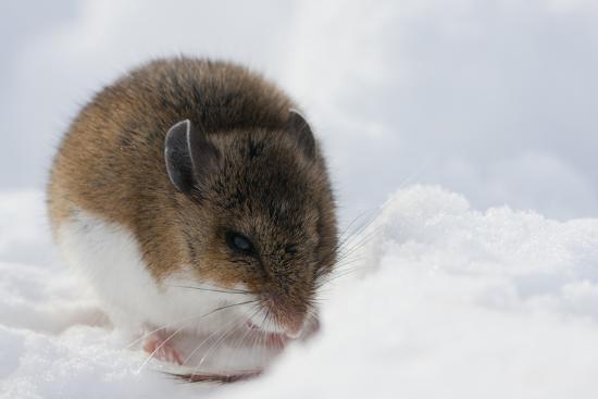 Deer Mouse in Winter-Ken Archer-Photographic Print