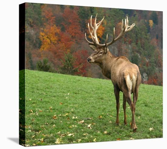 Deer On Autumn Background--Stretched Canvas Print