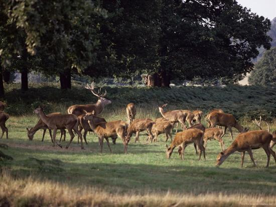 Deer, Richmond Park, Surrey, England, United Kingdom-Walter Rawlings-Photographic Print