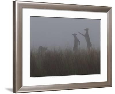 Deer Stand Up in the Fog to Fight-Barrett Hedges-Framed Photographic Print