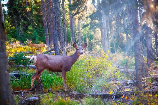 Deer Standing in Sunshine in Forest. Yellowstone National Park, Wyoming.-Lynn Y-Photographic Print