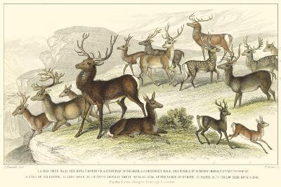 Deer Varieties-J. Stewart-Art Print
