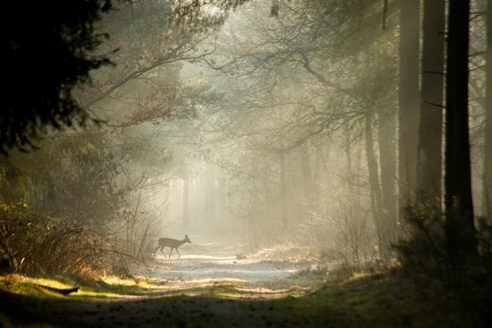 Deer-dewollewei-Photographic Print