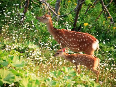 Deer--Photographic Print