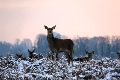 Deers in Bushi Park-Alessio Gaggioli photography-Photographic Print