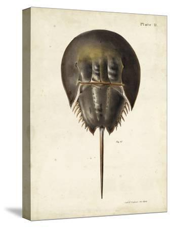 Vintage Horseshoe Crab