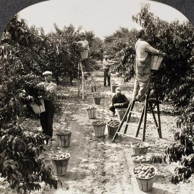 Delaware: Peach Orchard--Giclee Print