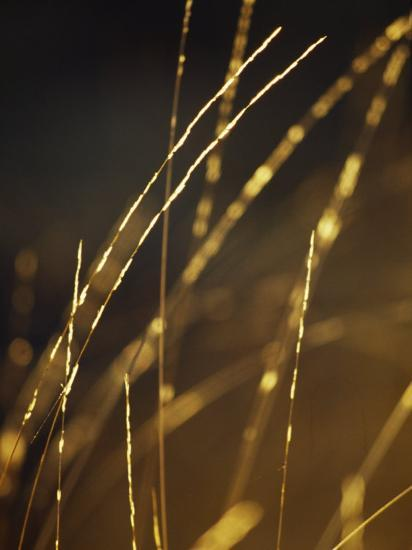 Delicate and Fragile Native Wire Grass Backlit by the Rising Sun-Jason Edwards-Photographic Print