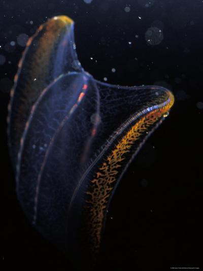 Delicate Comb Jelly, Neis Genus, Displays Underwater Bioluminescence, Australia-Jason Edwards-Photographic Print