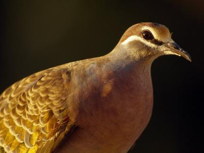 Delicate Features and Feather Plumage of the Common Bronzewing Pigeon-Jason Edwards-Photographic Print