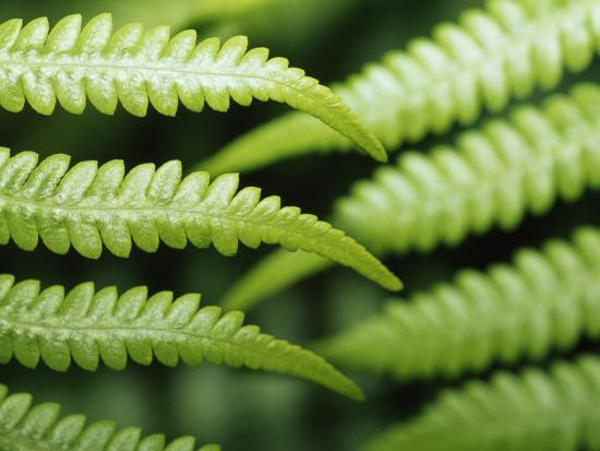 Delicate Leaf Vein Patterns on King Fern Fronds-Jason Edwards-Photographic Print