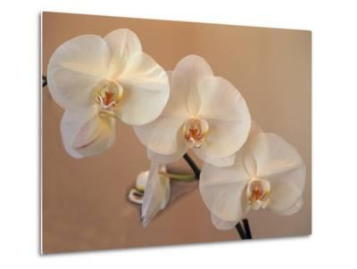 Delicate Orchids Blooming on the Big Island, Hawaii, USA-Jerry Ginsberg-Metal Print