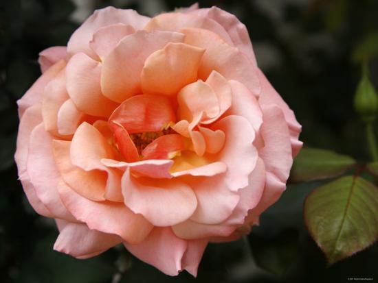 Delicate Petals I-Nicole Katano-Photo