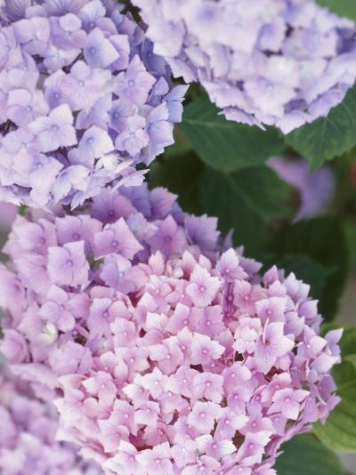 Delicate Pink and Purple Hydrangea Blossoms in Nature--Photographic Print