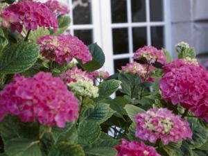 Delicate Pink Hydrangea Blossoms Near Cottage Window