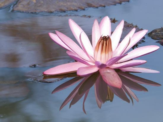 Delicate Pink Water Lily Blossom and Reflection in Calm Water-Paul Sutherland-Photographic Print