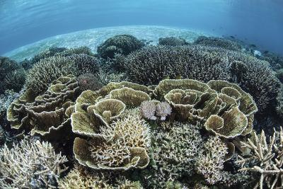 Delicate Reef-Building Corals in Alor, Indonesia-Stocktrek Images-Photographic Print